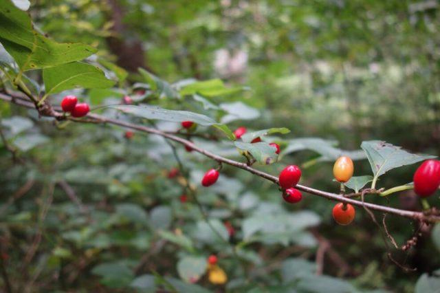 夏、一面深緑色の景色に映える赤い実
