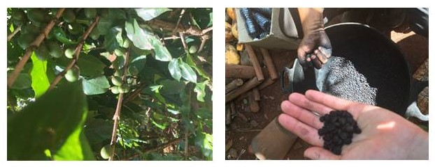Yes, coffee does in fact grow on trees!