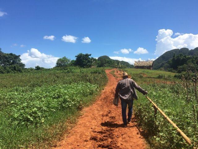 Led by a farmer through tobacco fields