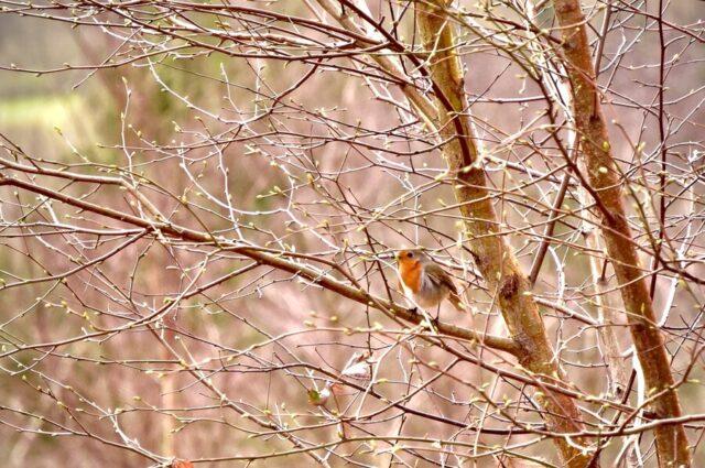 イギリスにて、近くの森へハイキング。おなかの赤い鳥、ロビン
