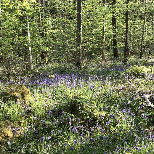 イギリスにて、ロックダウン中のお散歩。ひっそりと森に咲くブルーベル